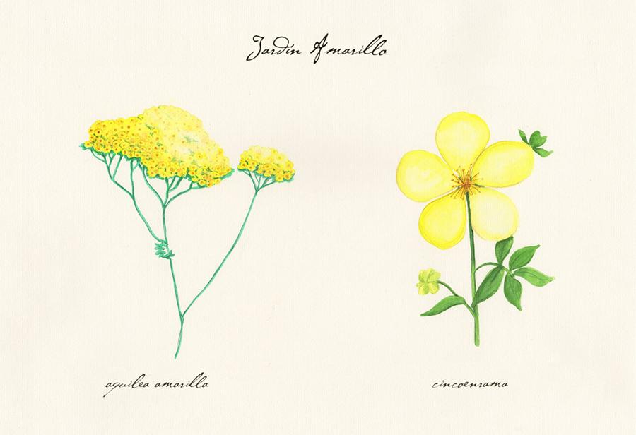 Ilustración a acuarela de el jardín amarillo. Muestra dos flores: aquilea amarilla y cincoenrama.