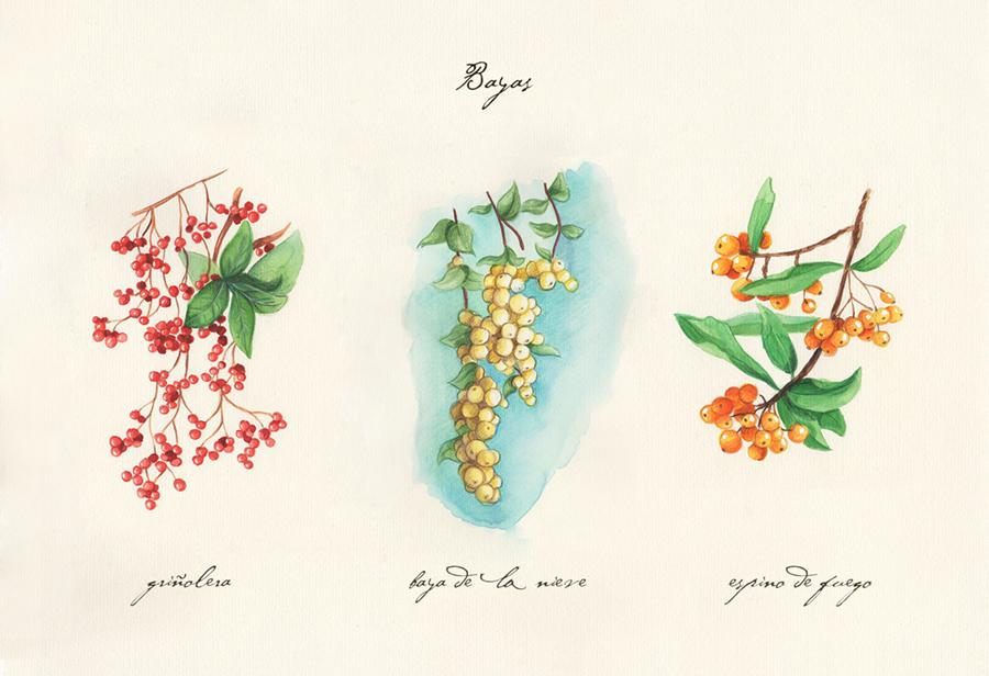 Ilustración a acuarela. Muestra tres ramas con bayas, de izquierda a derecha: griñolera, baya de la nieve y espino de fuego.